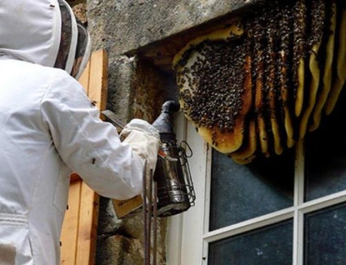 The Removal of Unwanted Beehives and some facts on Bees